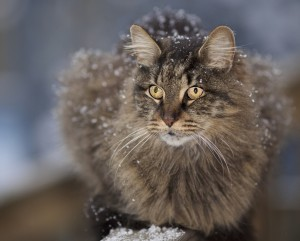 Long Haired Cat Enjoying Snowflakes Wallpaper