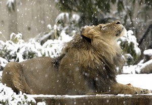 Male Lion Winter Wallpaper