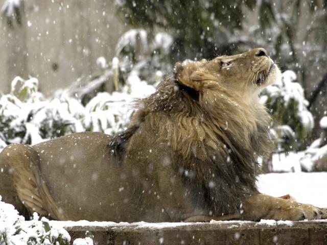 Male Lion Winter Wallpaper