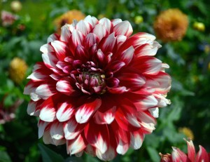 Red-White Dahlia Flower Wallpaper