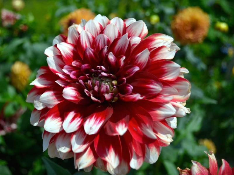 Red-White Dahlia Flower Wallpaper