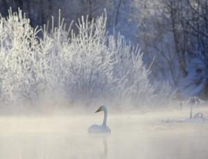 Winter Whooper Swan HD Wallpaper