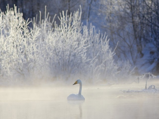 Winter Whooper Swan HD Wallpaper