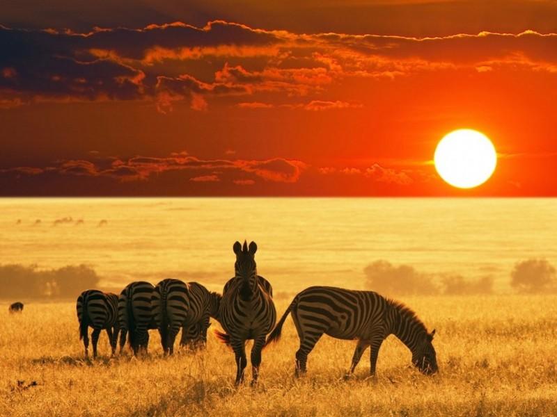 African Safari Zebras Wallpaper