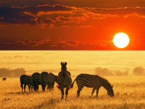 African Safari Zebras Wallpaper