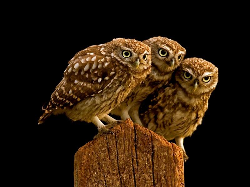 Burrowing Owls HD Wallpaper
