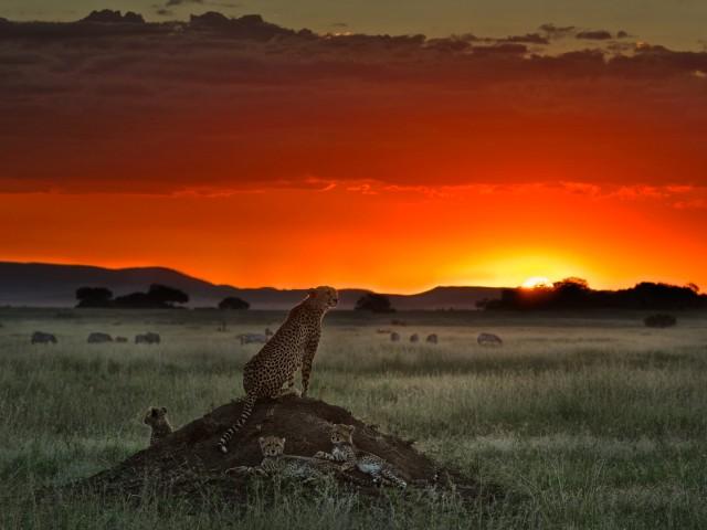 Cheetah Sunset HD Wallpaper