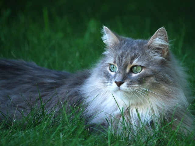 Green Eyed Cat Wallpaper