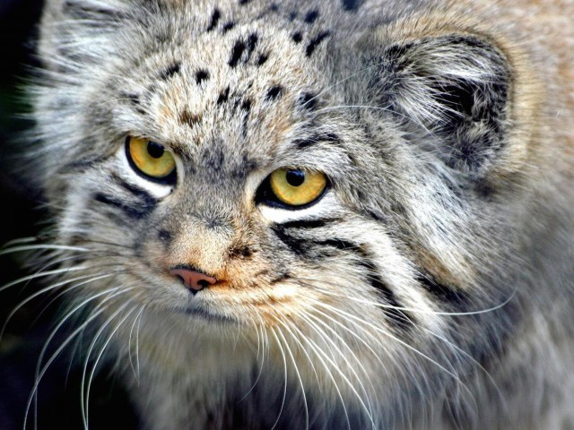 Manul Cat HD Wallpaper