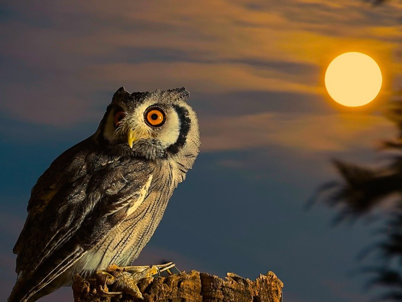 Owl-Full Moon HD Wallpaper