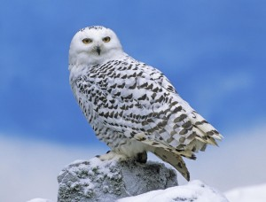 Snowy Owl Perched Wallpaper