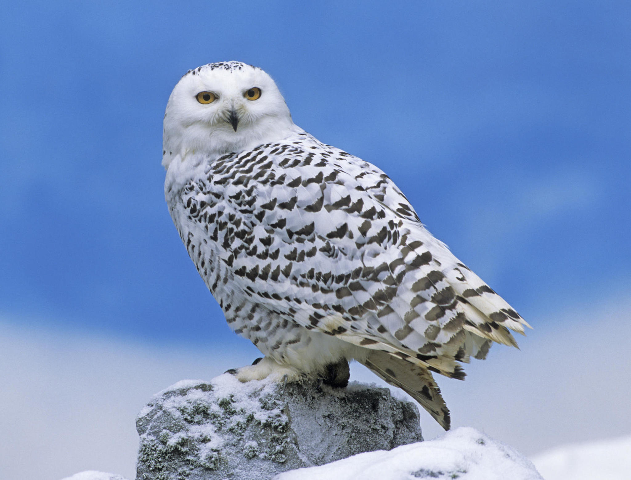 Snowy Owl Perched Wallpaper Free Hd Owl Downloads