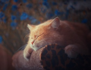 Lazy Cat Wallpaper