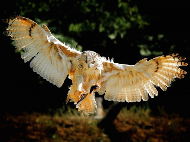 Owl Wingspan Wallpaper