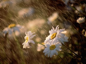 Rain Showering Daisies Wallpaper