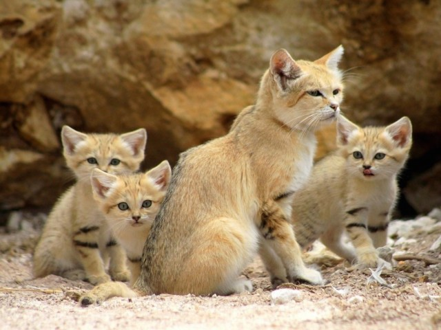 Sand Cat Family Wallpaper