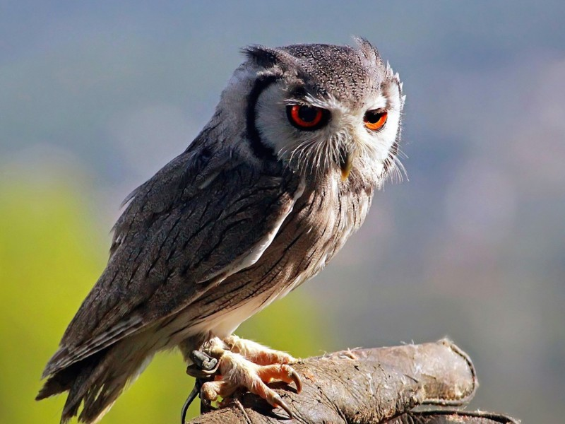 Southern White Faced Owl Wallpaper