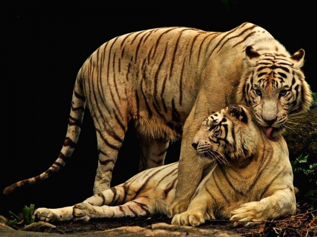 Tiger Motherliness Wallpaper