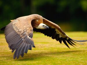 Vulture Bird Soaring Wallpaper