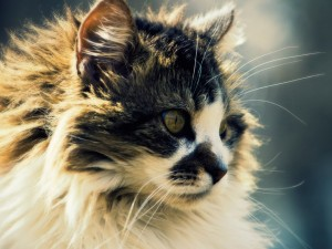 Fluffy Cat Wallpaper