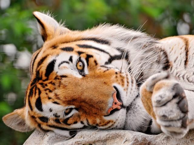 Lazy Bengal Tiger HD Wallpaper