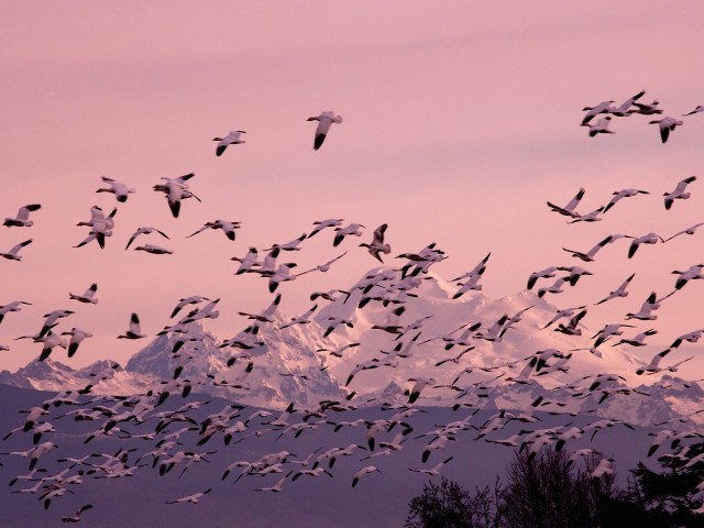 Migrating Snow Geese Wallpaper