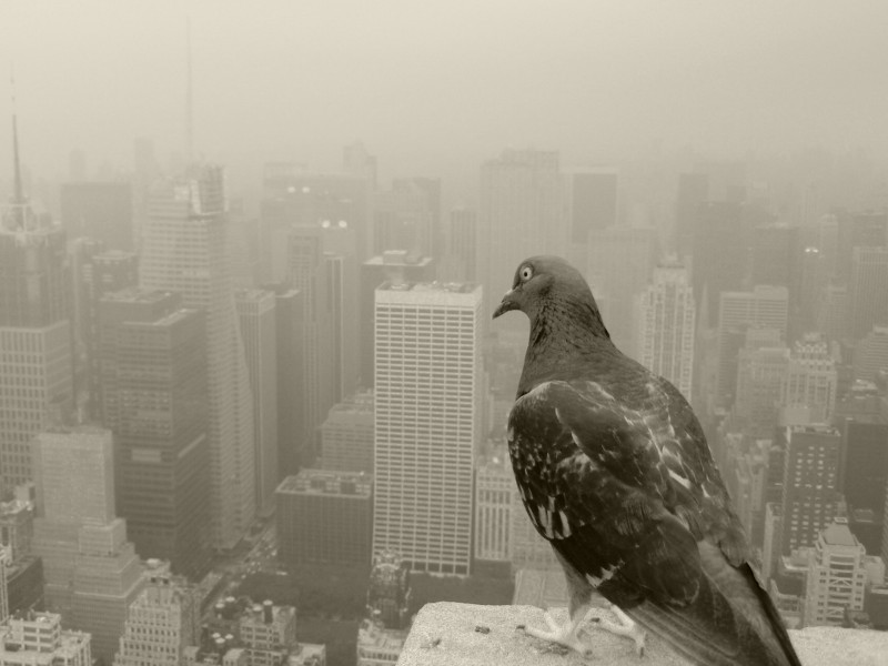 NYC Pigeons View Wallpaper
