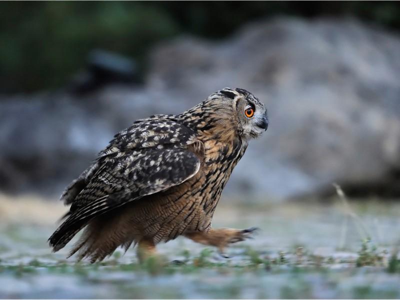 Owl Running Wallpaper