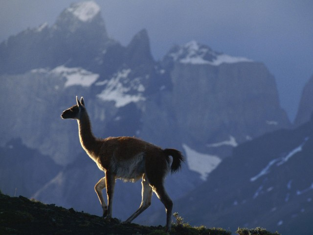 South American Llama Wallpaper