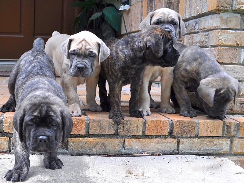 Cane Corso Puppies Wallpaper