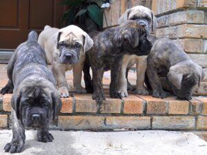 Cane Corso Puppies Wallpaper