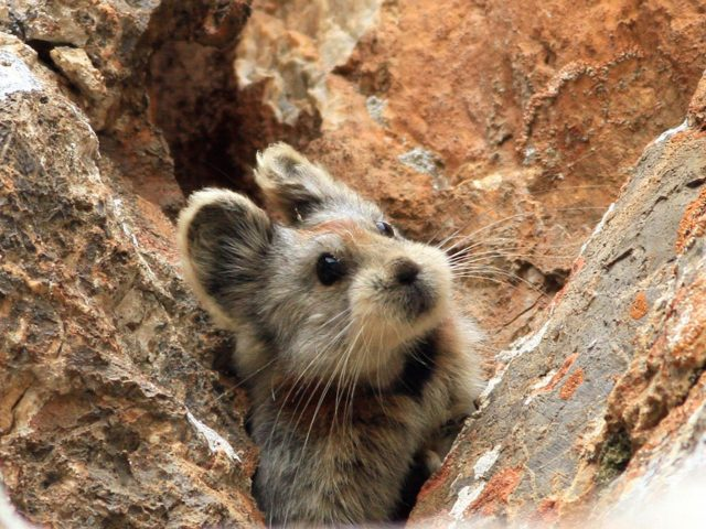 Ili Pika Wallpaper
