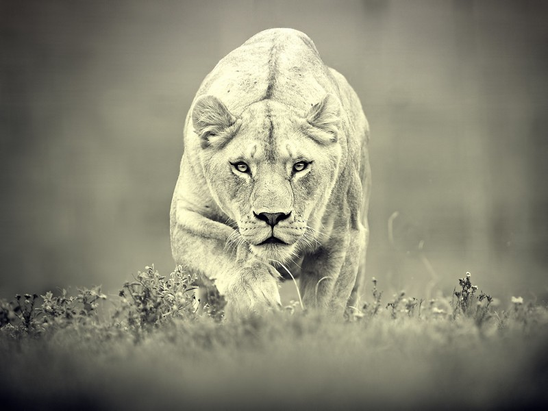 Lioness Stalking Wallpaper