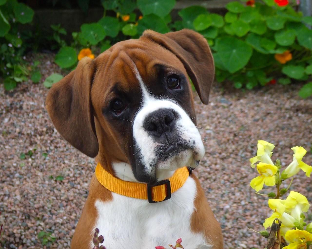 Loyal Boxer Dog Wallpaper | Free HD Downloads