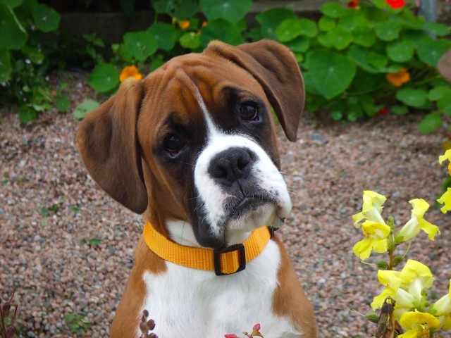 Loyal Boxer Dog Wallpaper