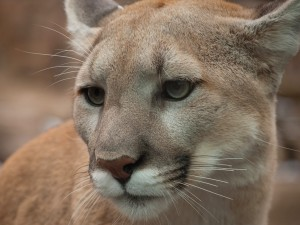 Handsome Puma Cat Wallpaper