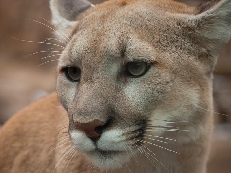 Handsome Puma Cat Wallpaper