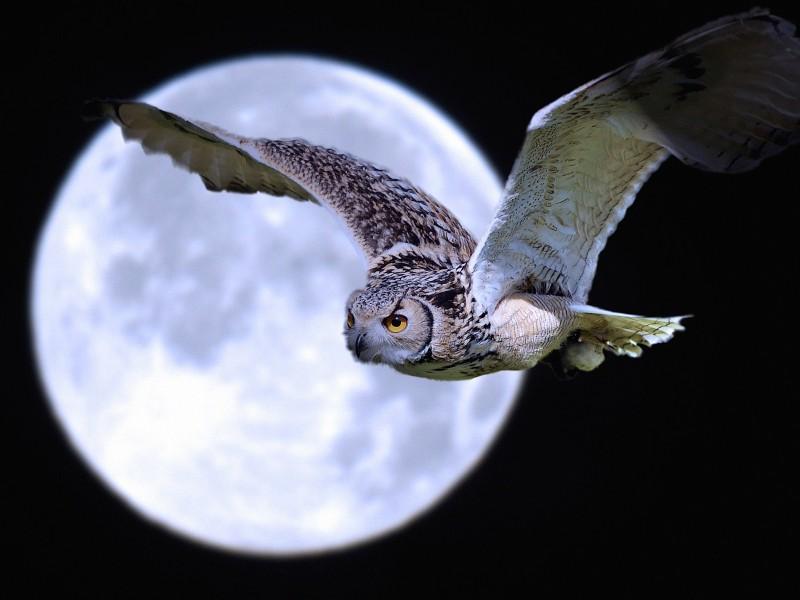 Owl-Super Moon Wallpaper