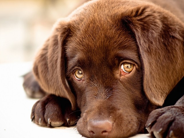 Innocent Puppy Wallpaper