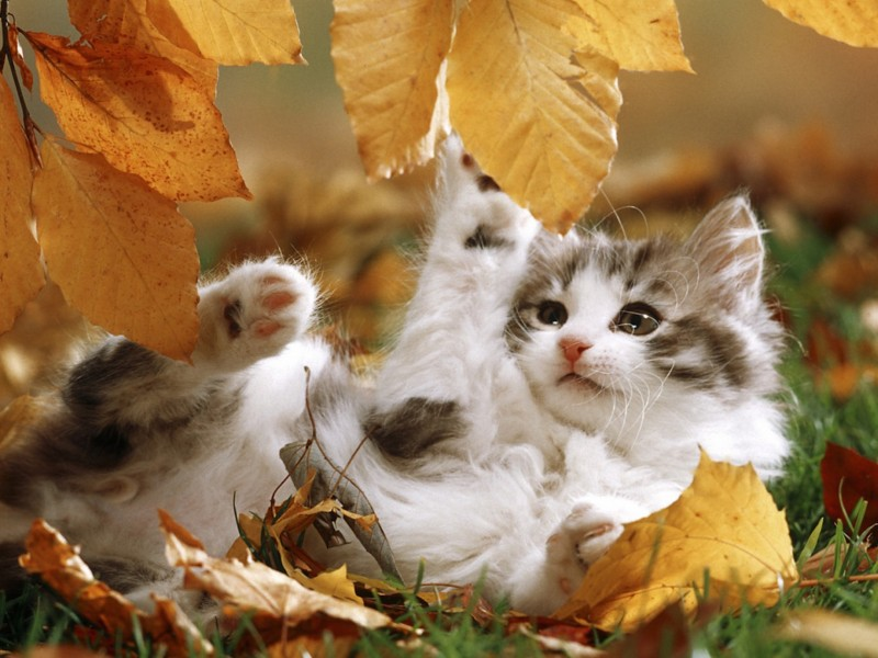Autumn Kitten Playing Wallpaper