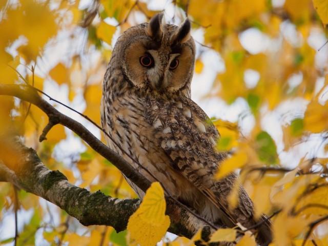 Autumn Owl Wallpaper