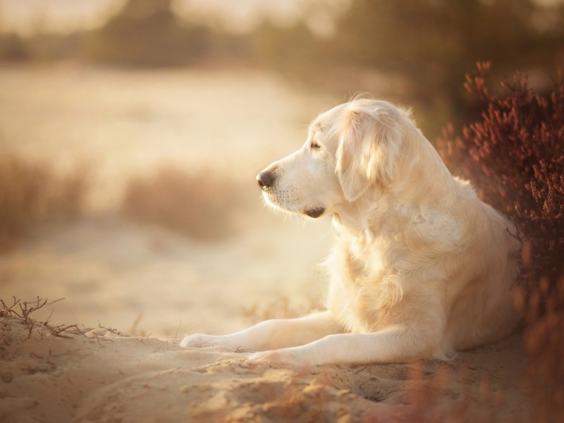 Golden Retriever Relaxing Wallpaper