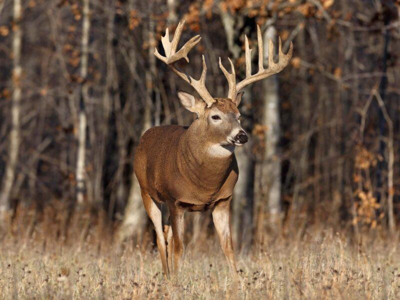 Buck Deer HD Wallpaper
