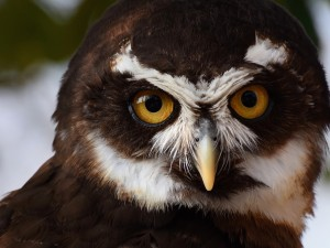 Spectacled Owl HD Wallpaper