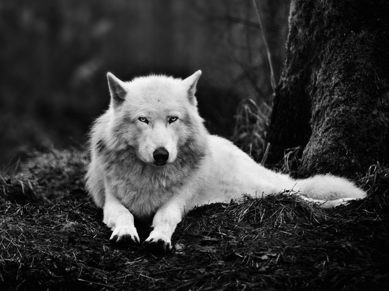 White Wolf Relaxed Wallpaper