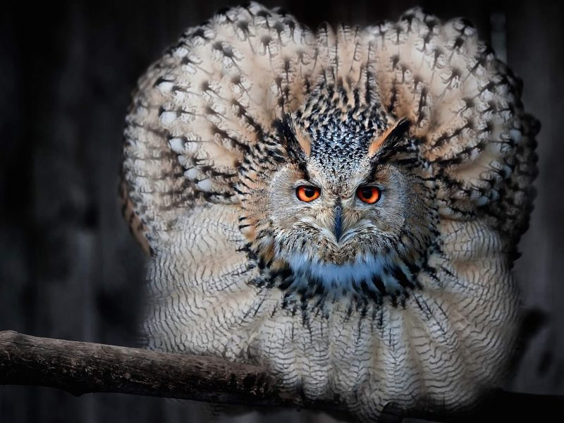 Fluffy Owl Wallpaper