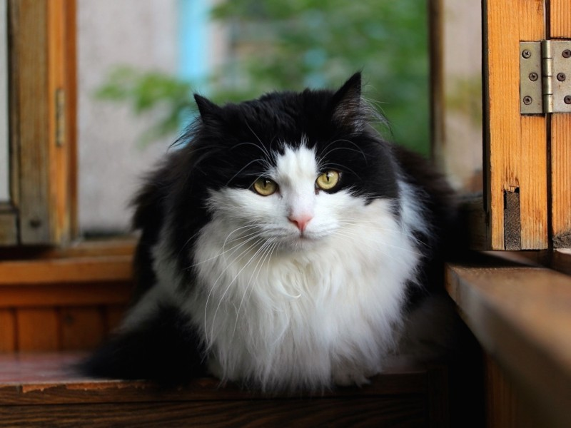 Long Haired Norwegian Forest Cat Wallpaper