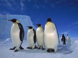 Antarctic Penguins Wallpaper