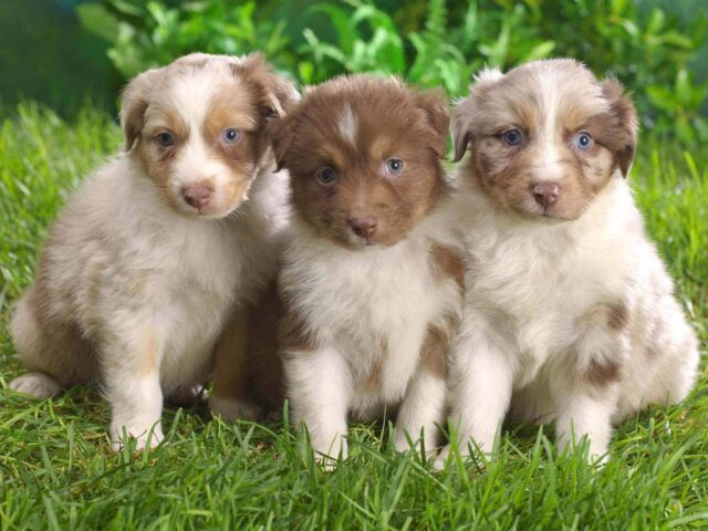 Australian Shepherd Puppies Wallpaper