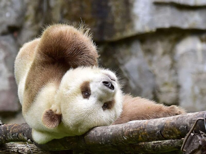 Qinling Panda Wallpaper